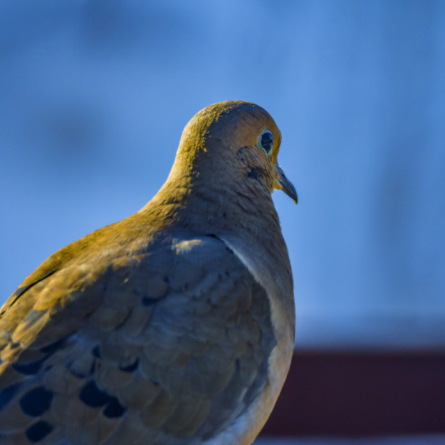 """Mourning dove"" stock image"