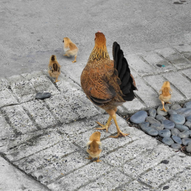 """""""Why did the chicken cross the road?"""" stock image"""