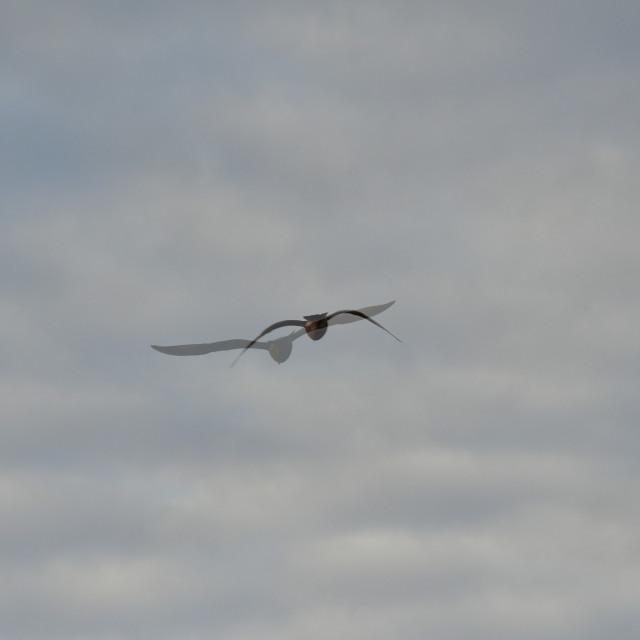 """""""Herring gull double-exposure"""" stock image"""