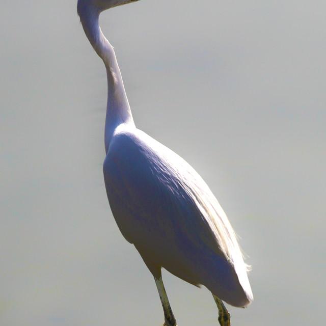 """White Heron"" stock image"