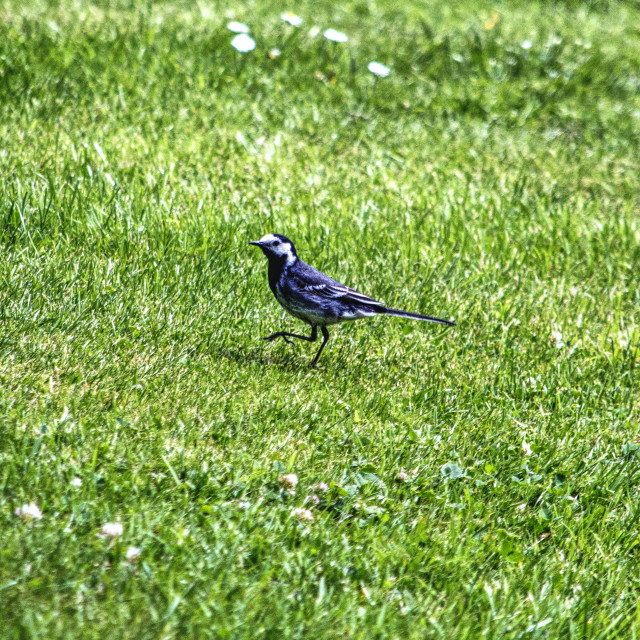 """""""Pied Wagtail"""" stock image"""