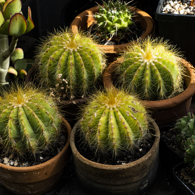 """""""Cactii in Pots"""" stock image"""