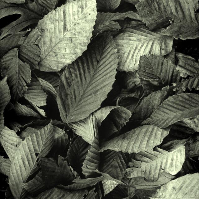 """Dead beech leaves"" stock image"