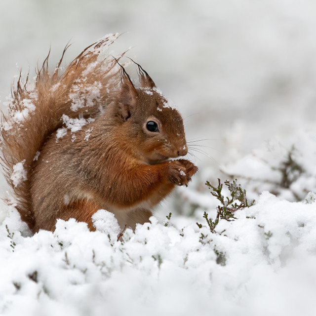"""""""Red Squirrel in the snow"""" stock image"""