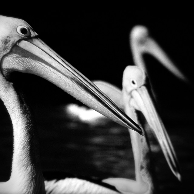 """""""Pelicans in black-and-white"""" stock image"""