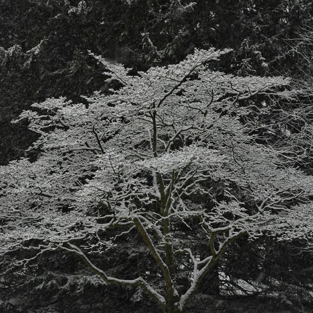 """Dogwood in Snow"" stock image"