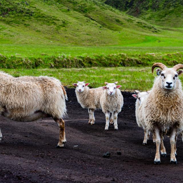 """Sheep family"" stock image"