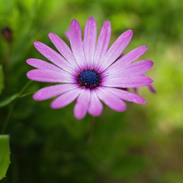 """""""Daisy"""" stock image"""