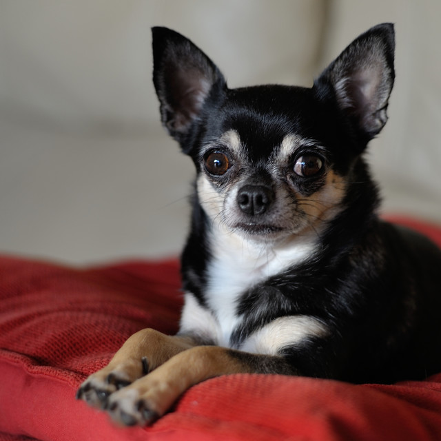 """Short Haired Black Chihuahua Bitch Dog"" stock image"