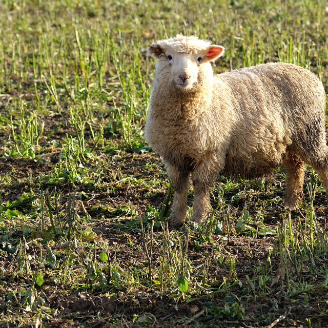 """Winter English Sheep in Sunshine"" stock image"