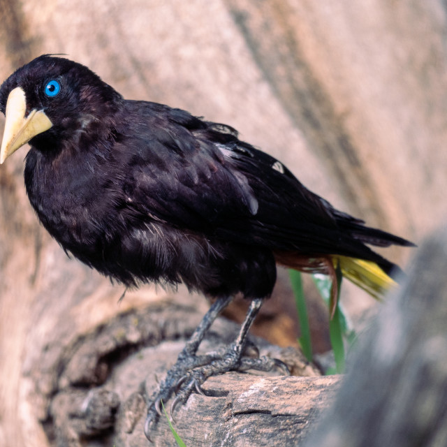 """Funny portrait of curiously looking Crested oropendola also known as Cornbird."" stock image"