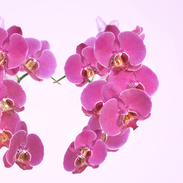 """""""heart-shaped with pink flowers of orchid"""" stock image"""