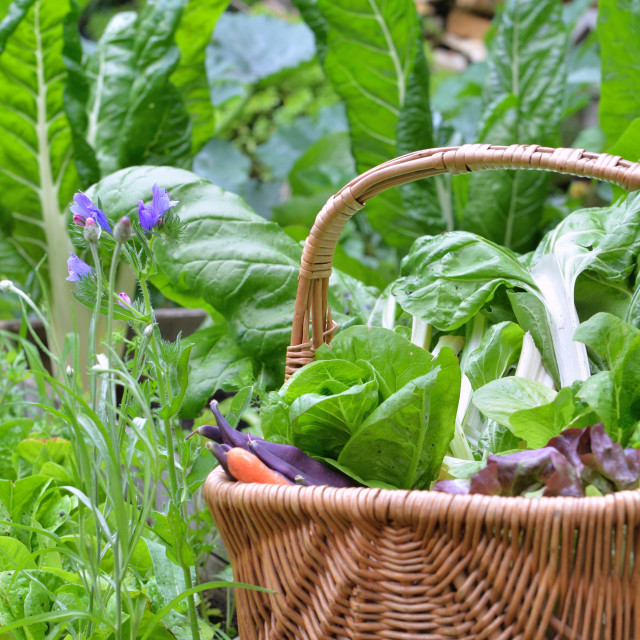 """""""leaf of chard and lettuce in a wicker basket put on a vegetable garden"""" stock image"""