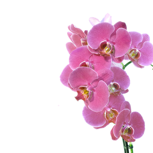 """""""heart-shaped with pink orchid flowers on pink background in panoramic view"""" stock image"""