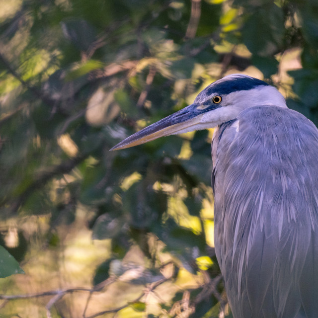 """Grey heron in a sunset light."" stock image"