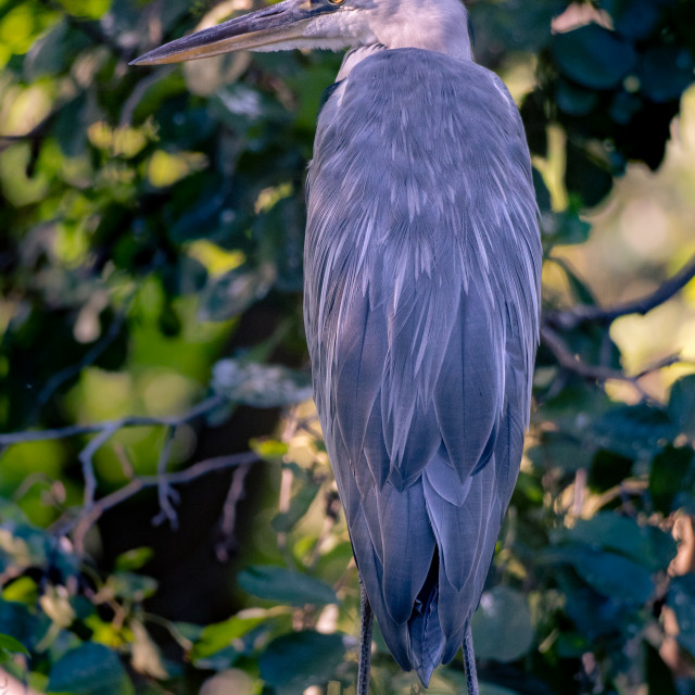 """Grey heron sitting on a branch above the water."" stock image"