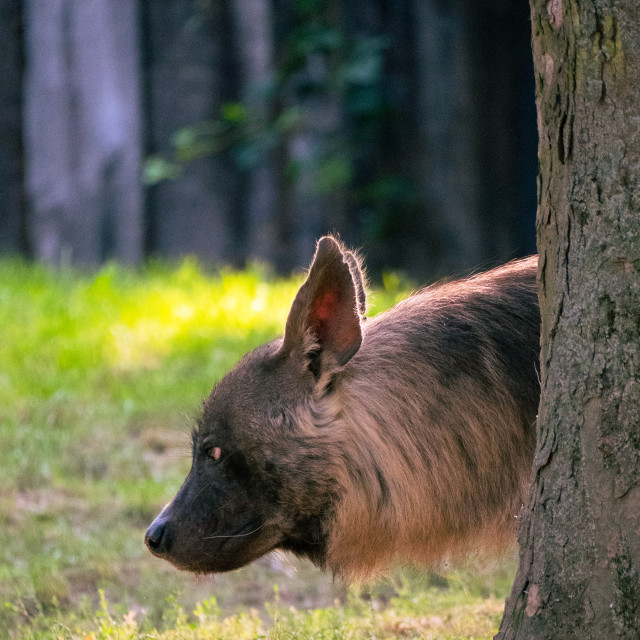 """Portrait of cute brown hyena."" stock image"