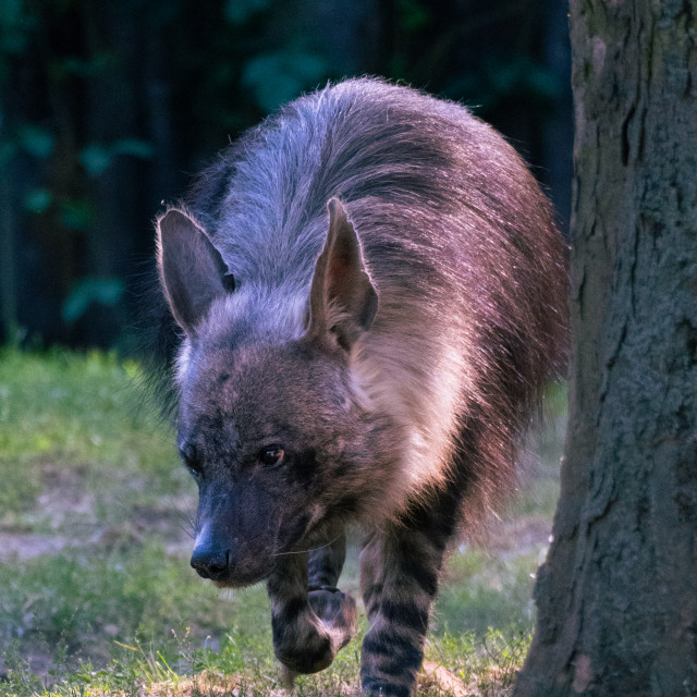 """Cute brown hyena in the backlight."" stock image"