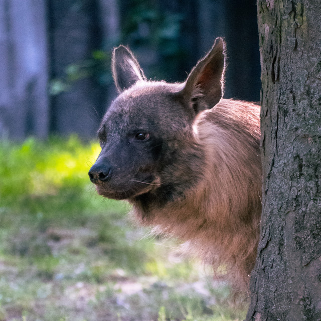 """Brown hyena peeking out from behind the tree."" stock image"