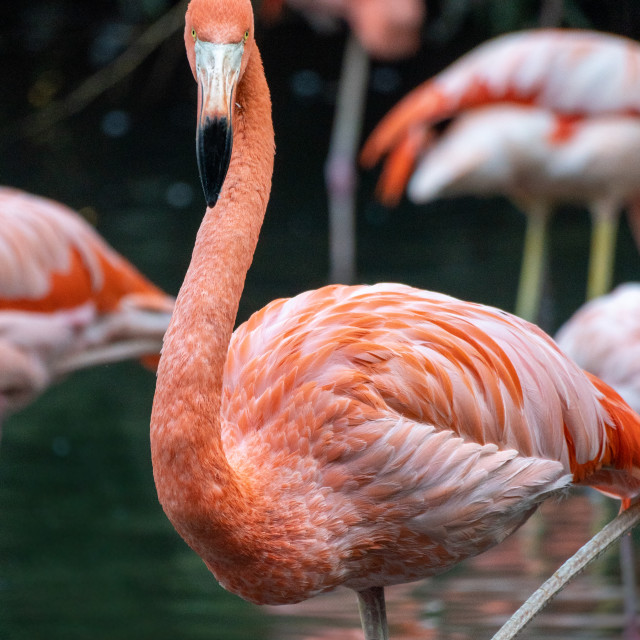 """Beautiful american flamingo with other buddies in the background."" stock image"