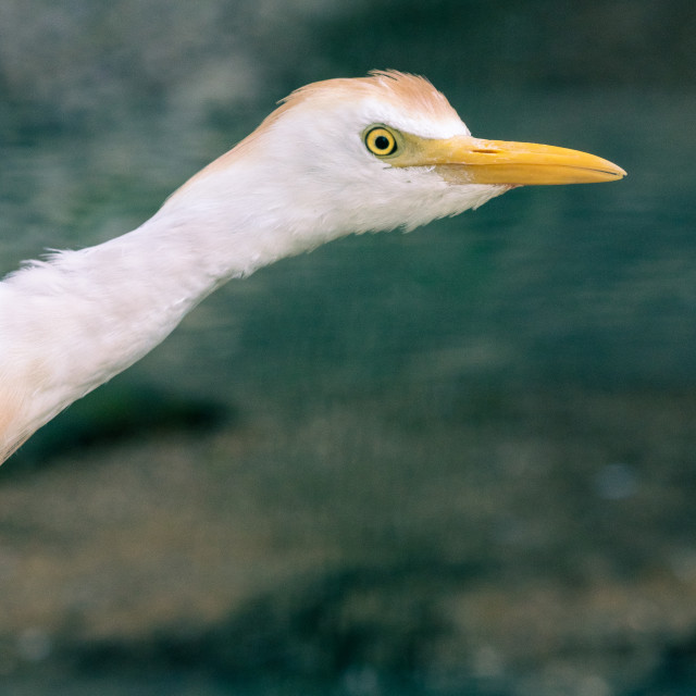"""Funny Cattle egret peeking out from the side."" stock image"