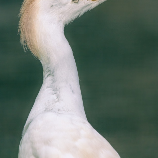 """Natural closeup of white Cattle egret in the water."" stock image"