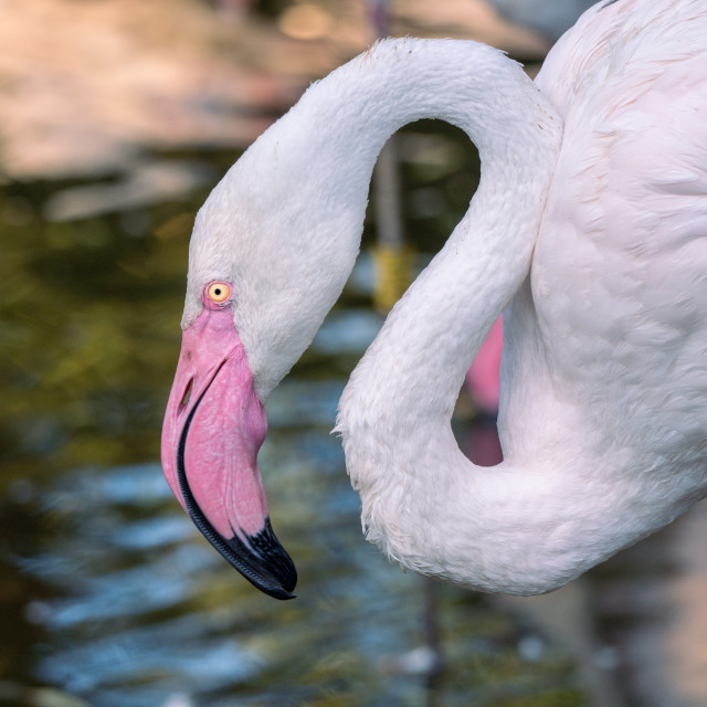 """A tender closeup of Greater flamingo in blue water."" stock image"