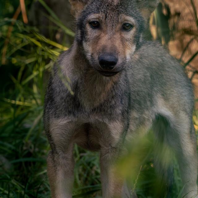 """Cute gray wolf puppy."" stock image"