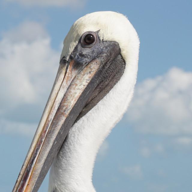 """""""Posing Pelican"""" stock image"""