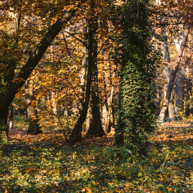 """""""trees with ivy in the autumn park"""" stock image"""