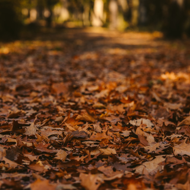 """""""close up on red leaf in autumn park"""" stock image"""