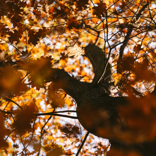 """""""tree in autumn, lower view"""" stock image"""