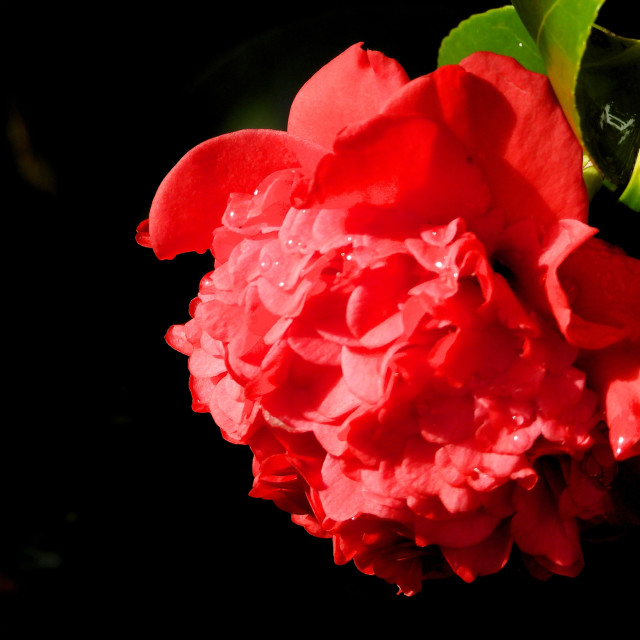 """""""Winter Red Camellia"""" stock image"""