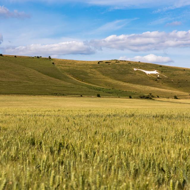 """""""Alton Barnes White Horse and wheatfield"""" stock image"""
