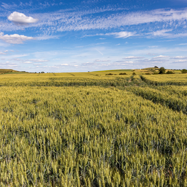 """""""Rolling wheatfield, Vale of Pewsey"""" stock image"""