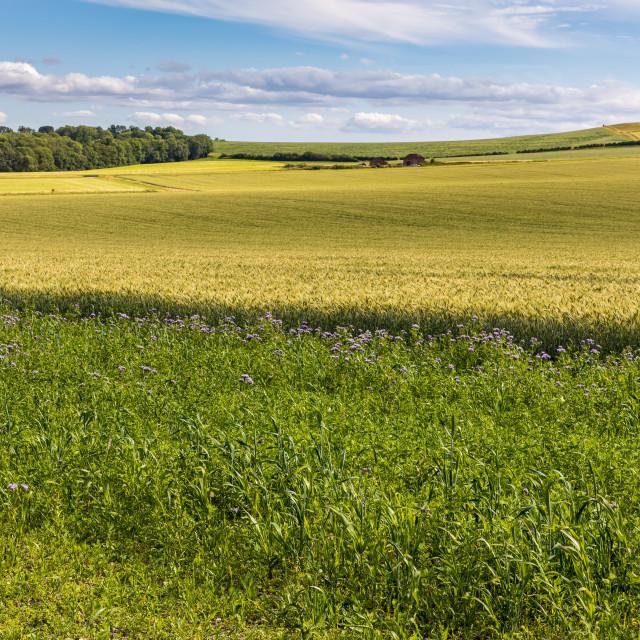 """Wheatfield, Vale of Pewsey"" stock image"