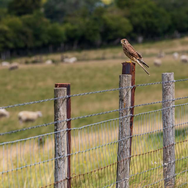 """Bird of prey, Marlborough Downs"" stock image"