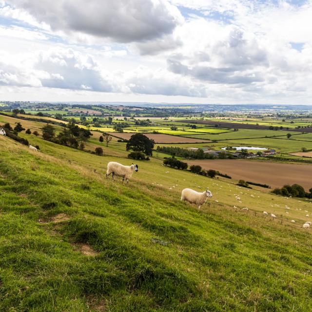 """Sheep crossing Corton Ridge"" stock image"