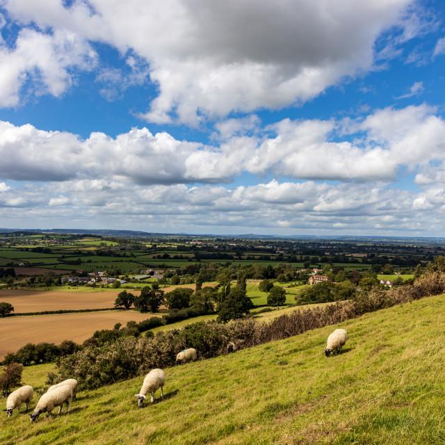 """Corton Ridge sheep"" stock image"