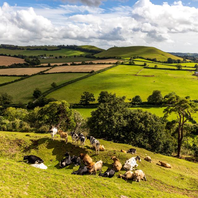 """""""Cadbury Castle cows"""" stock image"""