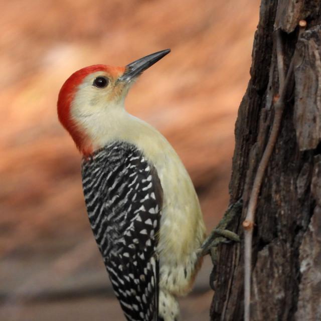 """Winter Red-Bellied Woodpecker"" stock image"