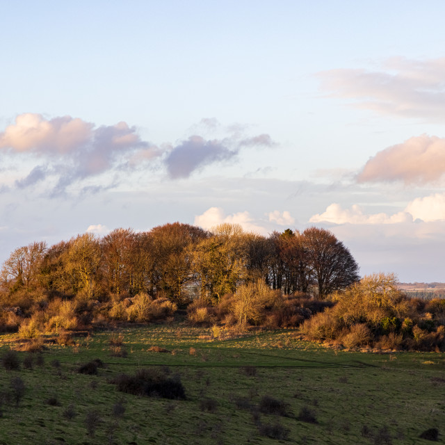 """Copse of trees on Buxbury Hill"" stock image"