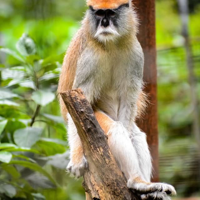 """""""Sitting Monkey"""" stock image"""