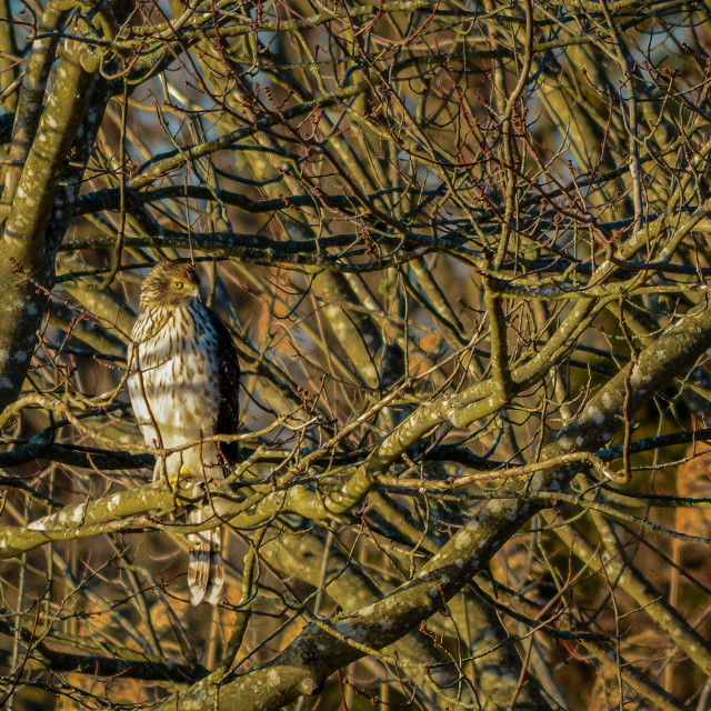 """Hawk in a Tree"" stock image"