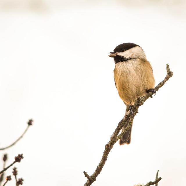 """Chickadee Eating a Seed"" stock image"