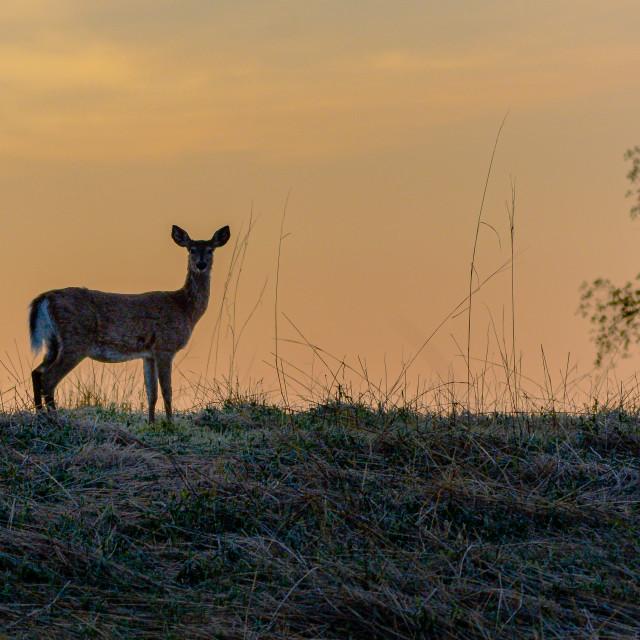 """Deer on the Ridge"" stock image"