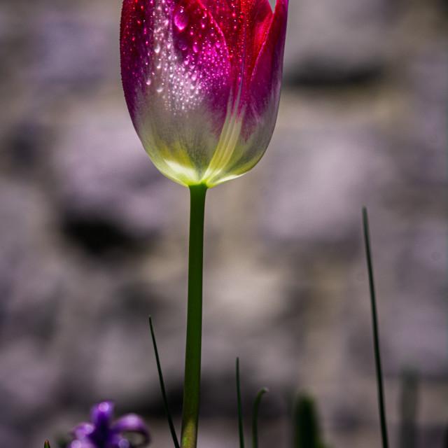 """Lonely Tulip"" stock image"