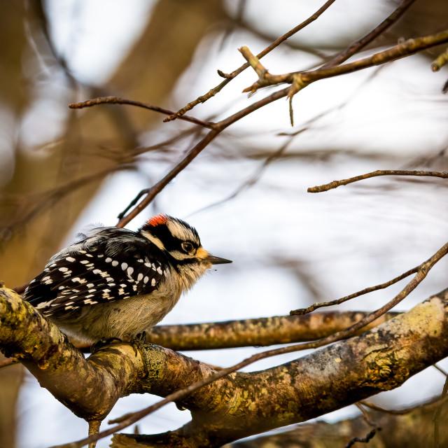 """The Downy Woodpecker"" stock image"