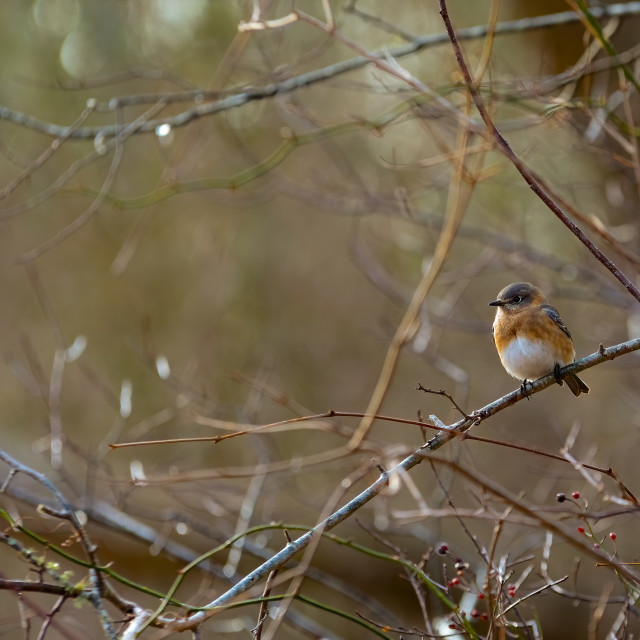 """The Cute Eastern Bluebird"" stock image"