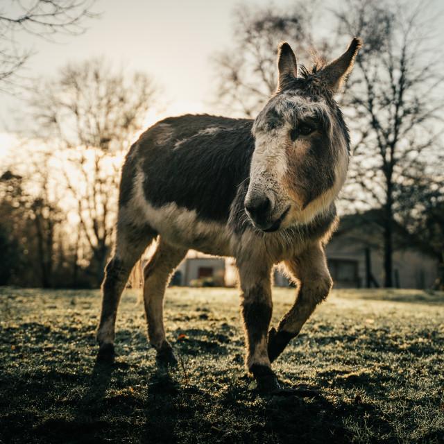 """""""Donkey at Ashford Castle, Mayo"""" stock image"""